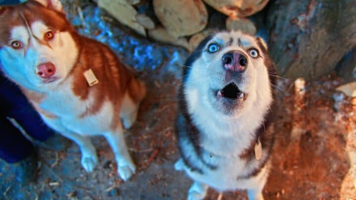 Why do Huskies Howl When Babies Cry? Why Indeed?