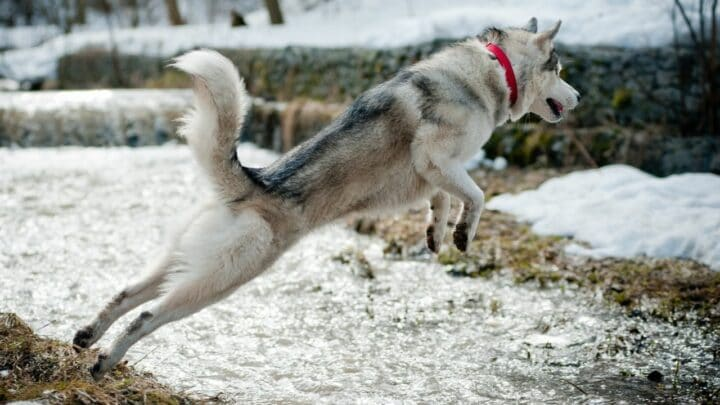 How High Can Huskies Jump? You'll Never Believe This!