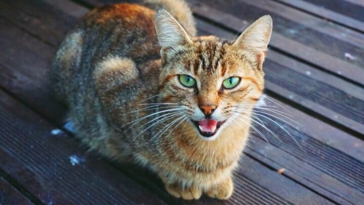 Why Do Cats Meow Back at You? Let's See!