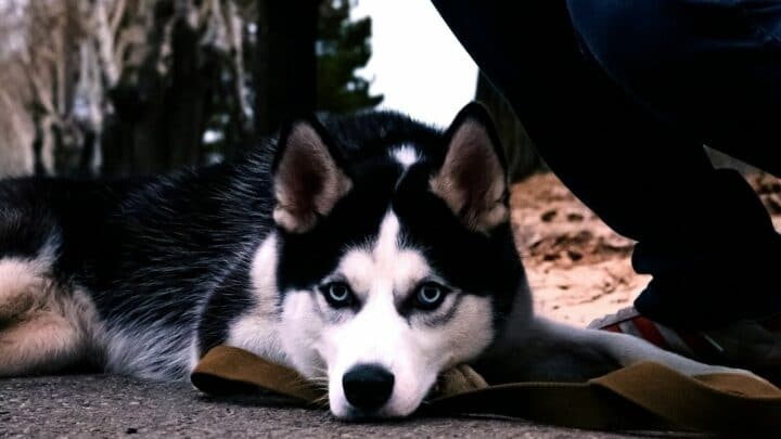 Why do Huskies Whine? Well…