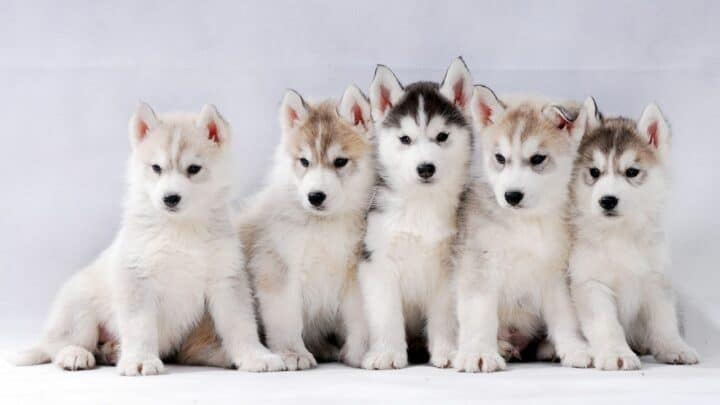 When Do Husky Puppies Lose Their Teeth? — The Answer