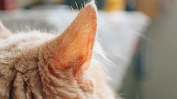 Why Are My Cats Ears Cold? Oh No!