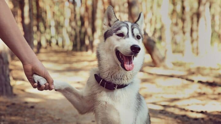 How To Know Your Husky Loves You — True Signs of Affection!