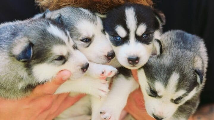 How Many Puppies Can a Husky Have — Let's See!