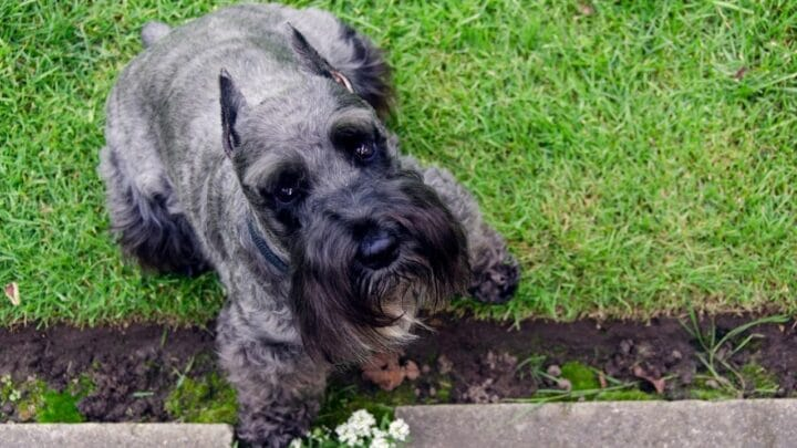 How to Stop a Schnauzer from Barking — It Works!