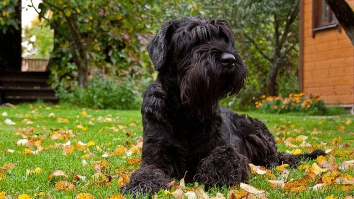 How to Groom a Giant Schnauzer — Things To Remember