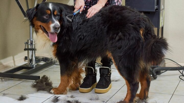 How to Groom a Bernese Mountain Dog? All You Need to Know