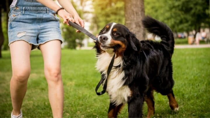 How To Train a Bernese Mountain Dog — The Basics Revealed