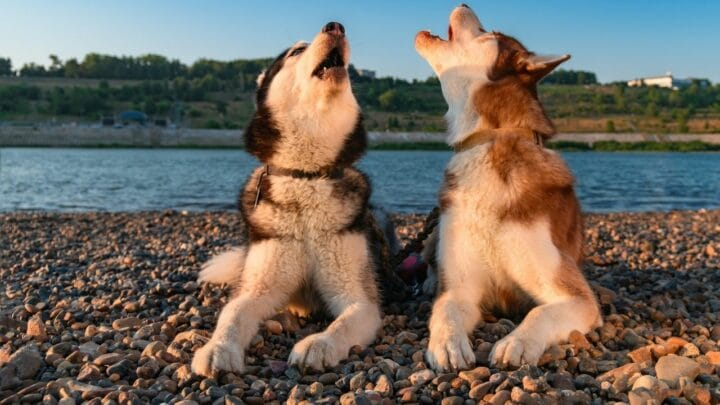 Why Do Huskies not Bark? Let's Find Out!