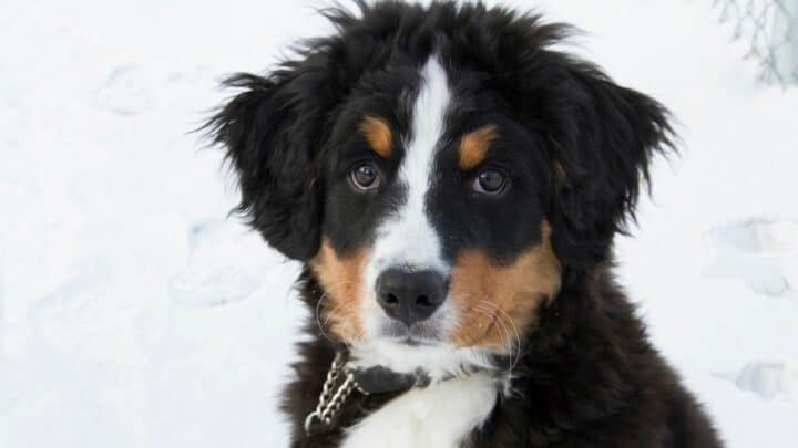 How to Train a Bernese Mountain Dog Puppy — Top Tips