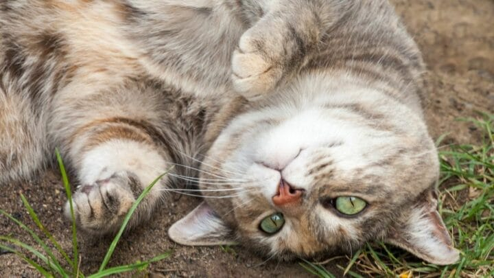 5 Reasons Why Cats Roll in Dirt