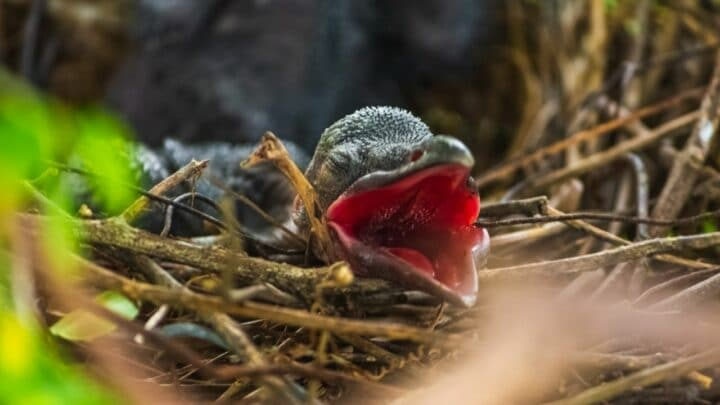 What Do Baby Crows Eat? Wow!