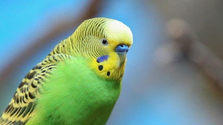 Why is my Budgie Shaking? Oh My!