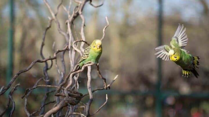 How to Clip Budgie Wing – 5 Steps to Success!