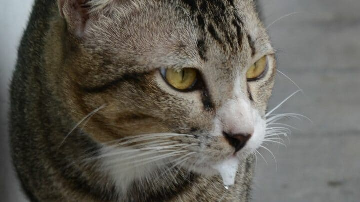 6 Reasons Why Your Cat Might Foam Out the Mouth