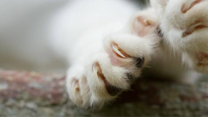 Why Do Cats Bite Their Nails? Ooh!