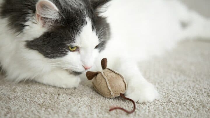 Why Do Cats Bring You Toys?  Oh, Now I See!