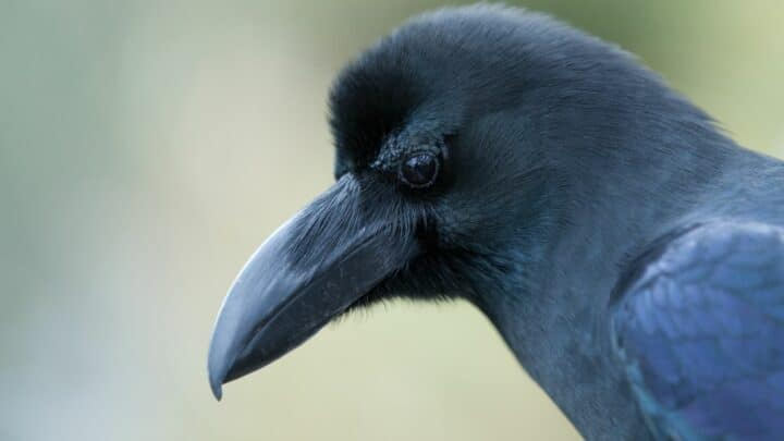 How To Befriend A Crow? Oh! So Exciting!