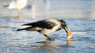 Crow Eating in Winter