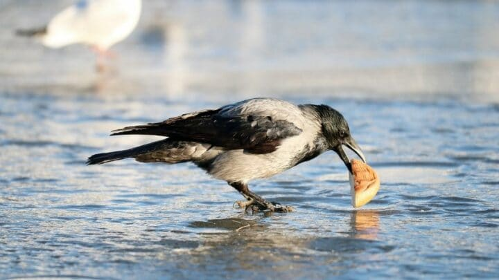What do Crows Eat in Winter – The Answer Is Here