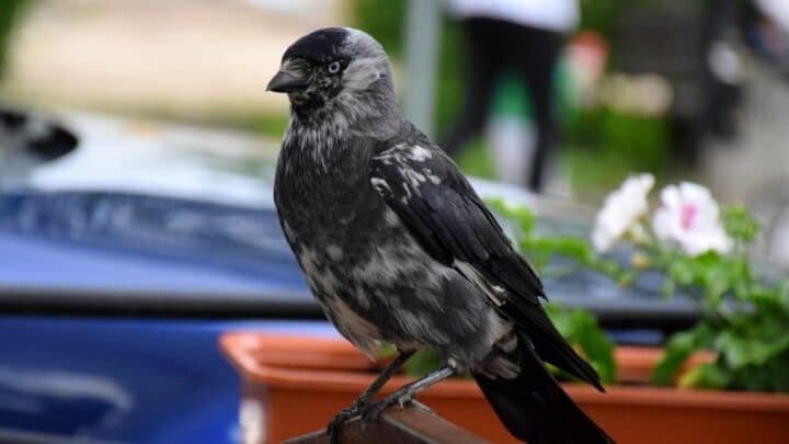 Do Crows Eat Other Birds? Interesting…