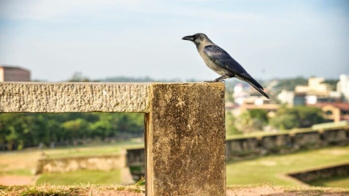 Do Crows Make Good Pets? The Answer Is Here!