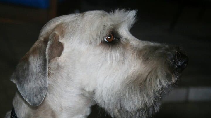 How to Cut Schnauzer Eyebrows The Pro Way