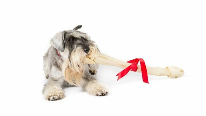 How Much To Feed A Miniature Schnauzer? The Answer!