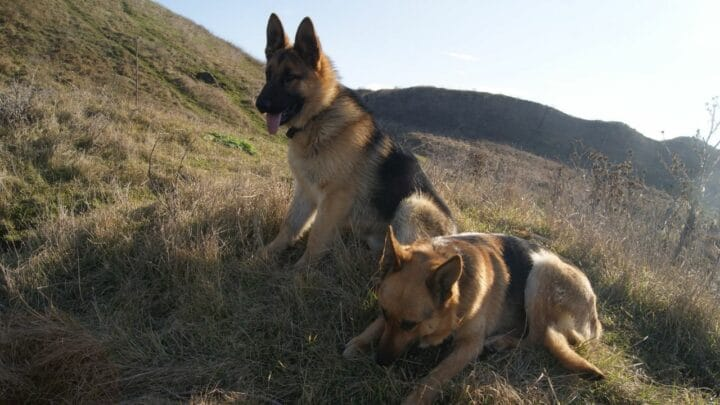 How To Get A German Shepherd To Gain Weight The Right Way!