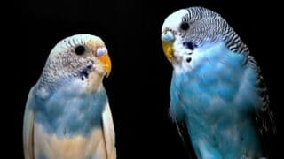 How to Tell Budgie Gender
