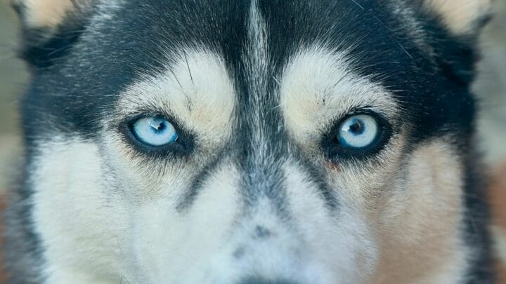 Why do Huskies have Blue Eyes? Cool!