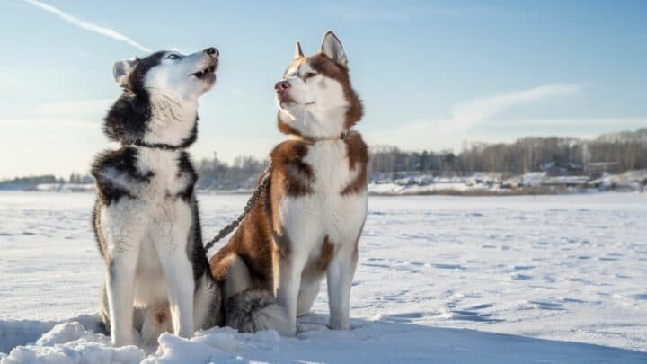 What Does A Husky Voice Sound Like? Now I Know!