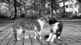 Male Cat Biting Female Cat's Neck