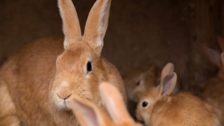 How Long Are Rabbits Pregnant? Oh!