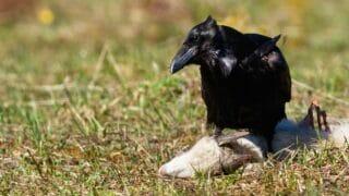 Raven Eating