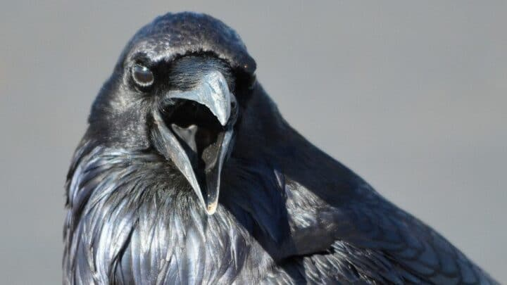 Do Ravens Make Good Pets? Yes, No, Maybe?