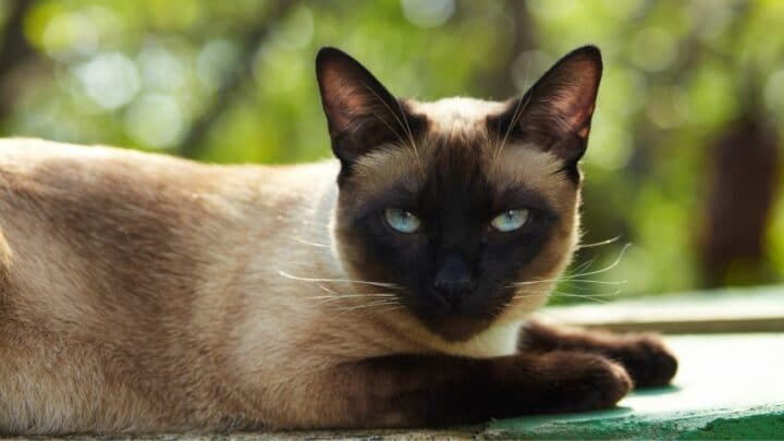 Why Do Siamese Cats Bite So Much? Oww!