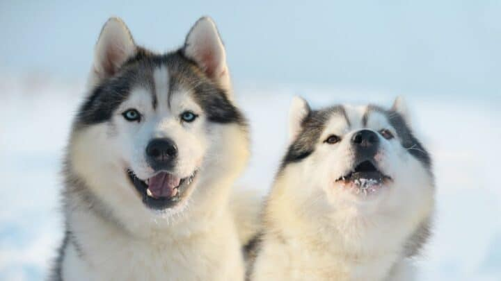 How Long Do Huskies Live — Here's The Answer!