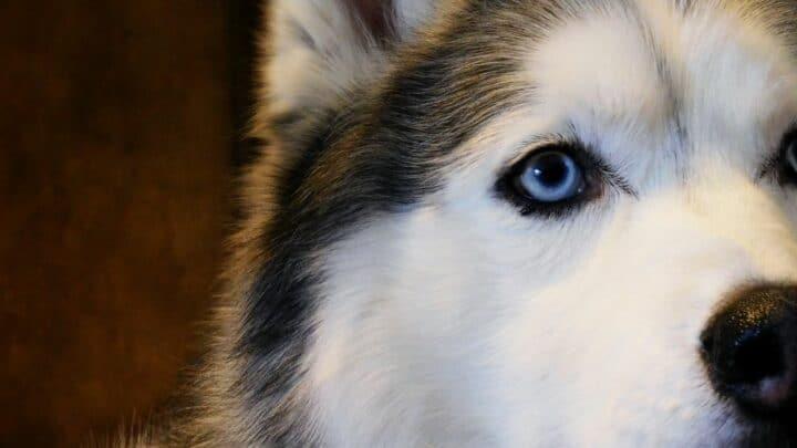 How Smart Are Huskies? Amazing!