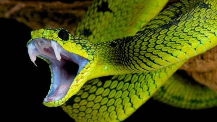 Why Do Snakes Eat Themselves? 2 Reasons