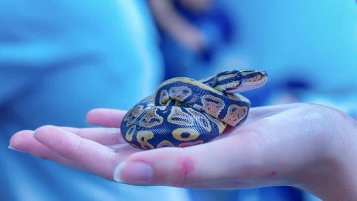 Why Snakes Make Good Pets? Really?