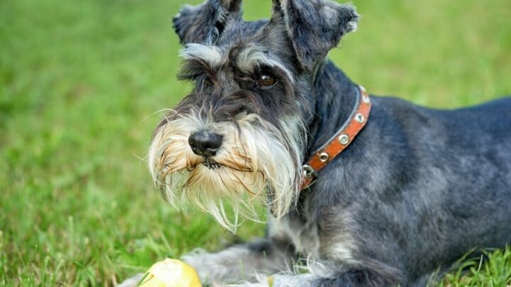 How To Train A Miniature Schnauzer – Must-Know Tips!
