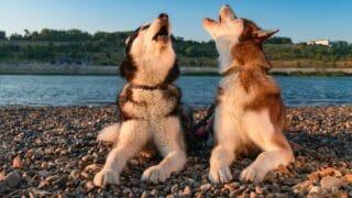 Vocal Siberian Huskies