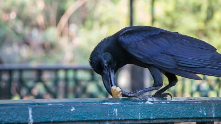 What to Feed Crows? Interesting!