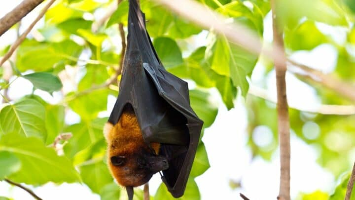 How Many Mosquitoes Do Bats Eat? Here's The Answer!