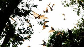 Bats Migrating
