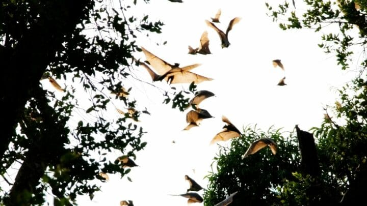 When Do Bats Migrate? Oh, Really?