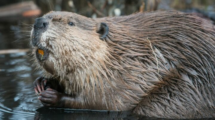 Do Beavers Eat Wood? Oh, Let Me See!