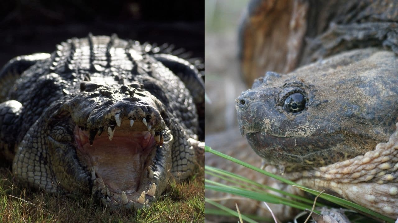 Crocodiles and Snapping Turtles