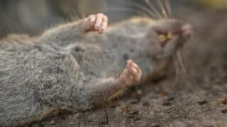 Dying Rat